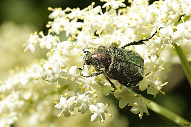 Noble Chafer Survey 2021